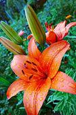 Garden lily — Stock Photo