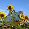 Stock Photo: Summer residence and sunflowers