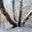 Old birch in winter wood — Stock Photo