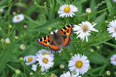 Butterfly on a camomile — Stock Photo