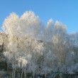 Trees in hoarfrost — Stock Photo
