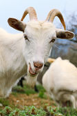 Goat with smirk — Stock Photo