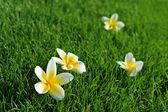 Plumeria on grass — Stock Photo