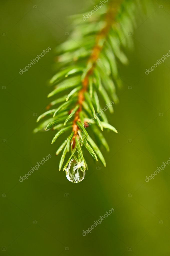 Close-up photo of coniferous twig with drop of water — Stock Photo #3770937