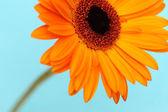 Flor margarita naranja — Foto de Stock