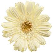 Margarita blanca flor — Foto de Stock