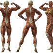 Female Human Bodybuilder Anatomy - 图库照片