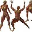 Female HumBodybuilder Anatomy — Stock Photo #2858737