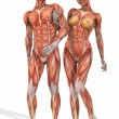 Female and Male Anatomic Body - Couple — Stockfoto