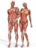 Female and Male Anatomic Body - Couple — Stock Photo
