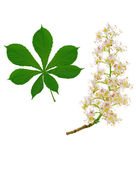 Horse chestnut branch and leaf — Stock Photo