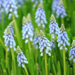 Stock Photo: Flower, muscari botryoides
