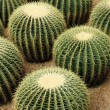 Cactaceae background — Stock Photo