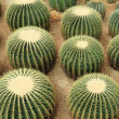 Cactaceae — Stock Photo #2785192