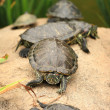 Stock Photo: Tortoises