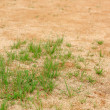 Grass grow on sand land — Stock Photo