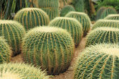 Cactaceae — Stock Photo