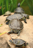 Some tortoises — Stock Photo