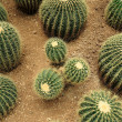 Many cactaceae — Stock Photo