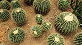 Many cactaceae — Stock Photo