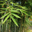 bamboo leaf — Stock Photo