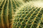 Cactus — Photo