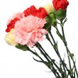 Carnation, flower for mother day — Stock Photo #2944654