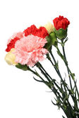 Carnation, flower for mother day — Stock Photo