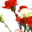 Carnation — Stock Photo #2964558