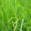 Royalty-Free Stock Photo: Paddy rice
