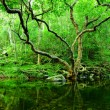 Tree and water in jungle — ストック写真