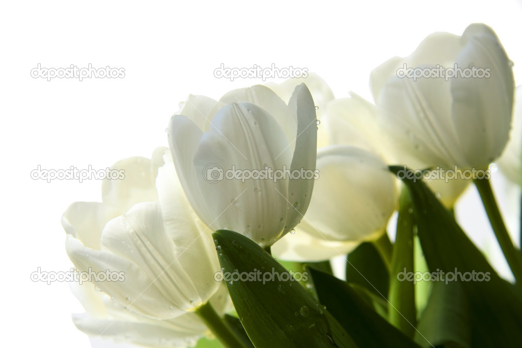 Bouquet of white tulips with droplets of water and green leaves on the white — Stock Photo #2839285