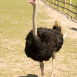 Ostrich on a farm — Stock Photo