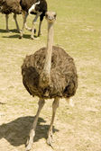 Ostrich on a farm — Stock Photo