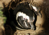 Magellanic penguin — Stock Photo