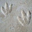 Dinosaur Footprints - Stock Photo