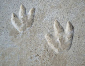Dinosaur Footprints — Stock Photo