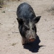 Stock Photo: Pig in desert wags his tail all covered in sticks