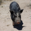 Pig in the desert wags his tail all covered in sticks - Stock Photo