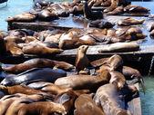 Seals Hangout at Pier 39 — Stock fotografie