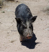 Pig in the desert wags his tail all covered in sticks — Stock Photo