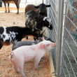 Stock Photo: Baby pigs, goats and sheeps ask horses for advice