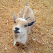 Baby Goat at Petting Zoo — ストック写真