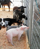 Baby pigs, goats and sheeps ask horses for advice — Stock Photo