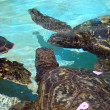 Captive Hawaiian Sea Turtles talk to each other under the water — Stock Photo