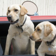 Stock Photo: Yellow Labs