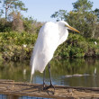 Great Egret — Stock Photo #2754577