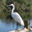 Great Egret — Stock Photo #2754582