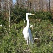 Great Egret — Stock Photo #2754591