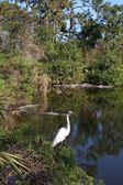 American alligators and Great Egret — Stock Photo